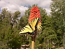 Tiger Swallow-Tail on Red Hot Poker Blossom